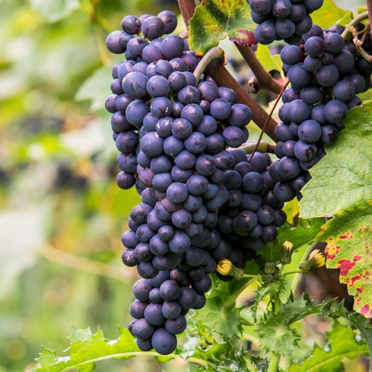 Пино Нуар (Pinot Noir) — 62%